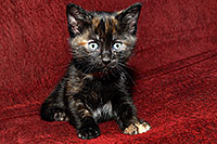 /images/133/2008-02-26-kittens-1389.jpg - #04862: Saraphina - Hanna`s Kitten #2 … Feb 2008 -- Tempe, Arizona