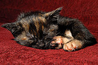 /images/133/2008-02-26-kittens-1500.jpg - #04865: Saraphina sleeping - Hanna`s Kitten #2 … Feb 2008 -- Tempe, Arizona