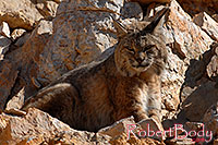/images/133/2008-03-31-gc-bobcat-7525.jpg - #05054: Bobcat at top of South Kaibab Trail in Grand Canyon … March 2008 -- South Kaibab Trail, Grand Canyon, Arizona
