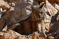 /images/133/2008-03-31-gc-bobcat-7534.jpg - #04978: Bobcat at top of South Kaibab Trail in Grand Canyon … March 2008 -- South Kaibab Trail, Grand Canyon, Arizona