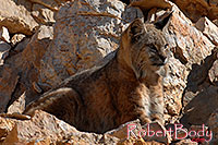 /images/133/2008-03-31-gc-bobcat-7537.jpg - #05056: Bobcat at top of South Kaibab Trail in Grand Canyon … March 2008 -- South Kaibab Trail, Grand Canyon, Arizona
