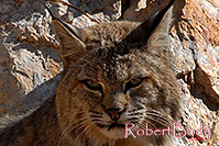 /images/133/2008-03-31-gc-bobcat-c-7525.jpg - #05057: Bobcat at top of South Kaibab Trail in Grand Canyon … March 2008 -- South Kaibab Trail, Grand Canyon, Arizona
