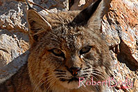 /images/133/2008-03-31-gc-bobcat-c-7534.jpg - #05058: Bobcat at top of South Kaibab Trail in Grand Canyon … March 2008 -- South Kaibab Trail, Grand Canyon, Arizona