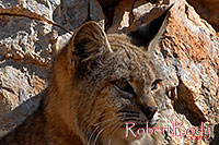 /images/133/2008-03-31-gc-bobcat-c-7537.jpg - #05059: Bobcat at top of South Kaibab Trail in Grand Canyon … March 2008 -- South Kaibab Trail, Grand Canyon, Arizona