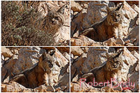/images/133/2008-03-31-gc-bobcat-pro1.jpg - #05060: Bobcat at top of South Kaibab Trail in Grand Canyon … March 2008 -- South Kaibab Trail, Grand Canyon, Arizona