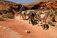 /images/133/2008-04-06-hav-mules-1343.jpg - #05179: Mules along Havasupai Trail heading to Supai … April 2008 -- Havasupai Trail, Havasu Falls, Arizona