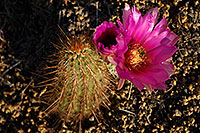/images/133/2008-04-11-sup-hedge-1939.jpg - #05226: Big purple flower of a small Hedgehog Cactus in Superstitions … April 2008 -- Superstitions, Arizona