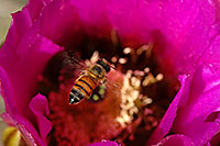/images/133/2008-04-12-sag-bee-2107.jpg - #05147: Honey Bee on a purple flower of Hedgehog Cactus in Saguaro National Park … April 2008 -- Saguaro National Park, Arizona