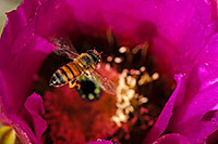 /images/133/2008-04-12-sag-bee-2108.jpg - #05148: Honey Bee on a purple flower of Hedgehog Cactus in Saguaro National Park … April 2008 -- Saguaro National Park, Arizona
