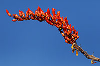 /images/133/2008-04-12-sag-ocoti-2048.jpg - #05233: Orange-red Ocotillo flower in Saguaro National Park … April 2008 -- Saguaro National Park, Arizona