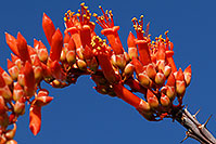 /images/133/2008-04-12-sag-ocoti-2060.jpg - #05234: Orange-red Ocotillo flower in Saguaro National Park … April 2008 -- Saguaro National Park, Arizona