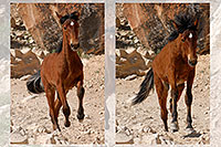 /images/133/2008-04-22-hav-horse-pro2.jpg - #05242: Havasupai horses along the trail … April 2008 -- Havasupai Trail, Havasu Falls, Arizona