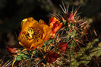 /images/133/2008-04-26-sup-cholla-5117.jpg - #05344: Orange flower of Cholla cactus in Superstitions … April 2008 -- Superstitions, Arizona