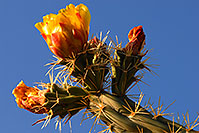 /images/133/2008-04-26-sup-cholla-5181.jpg - #05345: Orange flower of Cholla cactus in Superstitions … April 2008 -- Superstitions, Arizona