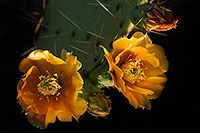 /images/133/2008-04-26-sup-prickly-5253.jpg - #05354: Yellow flowers of Prickly Pear Cactus in Superstitions … April 2008 -- Superstitions, Arizona