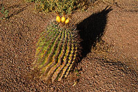 /images/133/2008-05-03-supers-bar-5896.jpg - #05368: Fishook Barrel Cactus in Superstitions … May 2008 -- Lost Dutchman State Park, Superstitions, Arizona