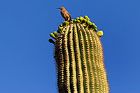 /images/133/2008-05-04-supers-bird-6427.jpg - #05384: Bird on top of Saguaro Cactus in Superstitions … May 2008 -- Lost Dutchman State Park, Superstitions, Arizona