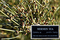/images/133/2008-05-04-supers-morm-6595.jpg - #05326: Mormon Tea Bush in Superstitions … May 2008 -- Lost Dutchman State Park, Superstitions, Arizona
