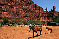 /images/133/2008-05-21-hav-supai-9400.jpg - #05456: Horses in Supai with The Watchers rock formation above Supai, Arizona … May 2008 -- Supai, Havasu Falls, Arizona