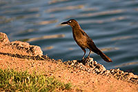/images/133/2008-06-14-gilb-bird-1716.jpg - #05502: Great-tailed Grackle at Freestone Park … June 2008 -- Freestone Park, Gilbert, Arizona
