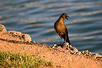 /images/133/2008-06-14-gilb-bird-1731.jpg - #05503: Great-tailed Grackle at Freestone Park … June 2008 -- Freestone Park, Gilbert, Arizona