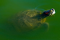 /images/133/2008-06-14-gilb-turtle-1764.jpg - 05510: Red-eared slider turtle appearing like a submarine from below the surface at the pond of Freestone Park … June 2008 -- Freestone Park, Gilbert, Arizona