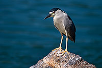 /images/133/2008-06-19-gilb-heron-7299.jpg - #05524: Black Crowned Night Heron at Freestone Park … June 2008 -- Freestone Park, Gilbert, Arizona