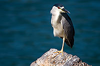 /images/133/2008-06-19-gilb-heron-7317.jpg - #05525: Black Crowned Night Heron standing on one leg at Freestone Park … June 2008 -- Freestone Park, Gilbert, Arizona