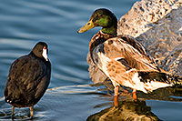 /images/133/2008-06-20-gilb-duck-8619.jpg - #05532: Mallard Duck and American Coot at Freestone Park … June 2008 -- Freestone Park, Gilbert, Arizona