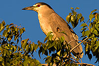 /images/133/2008-06-20-gilb-heron-8598.jpg - #05544: Black Crowned Night Heron in a tree at Freestone Park … June 2008 -- Freestone Park, Gilbert, Arizona