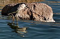 /images/133/2008-06-20-gilb-heron-9210.jpg - #05550: Black Crowned Night Heron at Freestone Park … June 2008 -- Freestone Park, Gilbert, Arizona