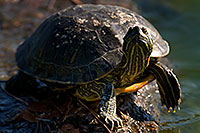 /images/133/2008-06-20-gilb-turtle-9640.jpg - #05556: Red-eared slider turtle resting at a rock at Freestone Park … June 2008 -- Freestone Park, Gilbert, Arizona
