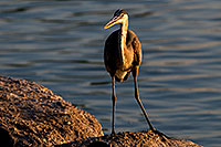 /images/133/2008-06-21-gilb-blue-10275.jpg - #05558: Great Blue Heron on a rock at Freestone Park … June 2008 -- Freestone Park, Gilbert, Arizona