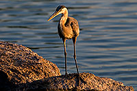 /images/133/2008-06-21-gilb-blue-10284.jpg - #05559: Great Blue Heron on a rock at Freestone Park … June 2008 -- Freestone Park, Gilbert, Arizona