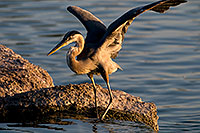 /images/133/2008-06-21-gilb-blue-10296.jpg - #05561: Great Blue Heron spreading his wings on a rock at Freestone Park … June 2008 -- Freestone Park, Gilbert, Arizona
