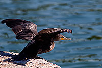 /images/133/2008-06-21-gilb-cor-10876.jpg - #05566: Cormorant about to takeoff from a rock at Freestone Park … June 2008 -- Freestone Park, Gilbert, Arizona