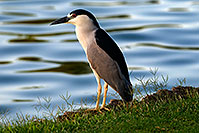 /images/133/2008-06-21-gilb-heron-10696.jpg - #05567: Black Crowned Night Heron watching the pond at Freestone Park … June 2008 -- Freestone Park, Gilbert, Arizona