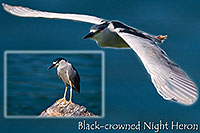 /images/133/2008-06-23-gilb-heron-pro.jpg - #05547: Black Crowned Night Heron at Freestone Park … June 2008 -- Freestone Park, Gilbert, Arizona