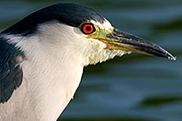 /images/133/2008-06-25-free-heron-13165.jpg - #05577: Black Crowned Night Heron at Freestone Park … June 2008 -- Freestone Park, Gilbert, Arizona
