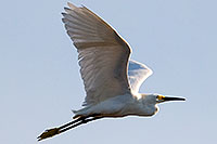 /images/133/2008-06-30-rip-egrets-16273.jpg - #05577: Snowy Egret in flight at Riparian Preserve … June 2008 -- Riparian Preserve, Gilbert, Arizona