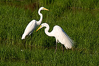 /images/133/2008-06-30-rip-egrets-16661.jpg - #05604: Two Great Egrets at Riparian Preserve … June 2008 -- Riparian Preserve, Gilbert, Arizona