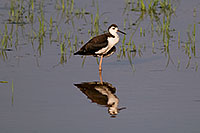 /images/133/2008-06-30-rip-stilt-16439.jpg - #05607: Black Necked Stilt (juvenile) at Riparian Preserve … June 2008 -- Riparian Preserve, Gilbert, Arizona