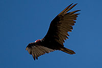 /images/133/2008-06-30-rip-vulture-16835.jpg - #05584: Turkey Vulture at Riparian Preserve … June 2008 -- Riparian Preserve, Gilbert, Arizona