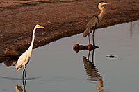 /images/133/2008-07-01-rip-egrets-17000.jpg - #05612: Great Egret [left] and Great Blue Heron [right] at Riparian Preserve … June 2008 -- Riparian Preserve, Gilbert, Arizona