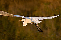 /images/133/2008-07-01-rip-egrets-17018.jpg - #05588: Great Egret in flight at Riparian Preserve … June 2008 -- Riparian Preserve, Gilbert, Arizona