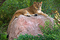 /images/133/2008-07-25-zoo-lioness-17955.jpg - #05614: Lioness at the Phoenix Zoo … July 2008 -- Phoenix Zoo, Phoenix, Arizona