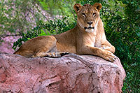 /images/133/2008-08-01-zoo-lioness-18525.jpg - #05673: Lioness at the Phoenix Zoo … August 2008 -- Phoenix Zoo, Phoenix, Arizona