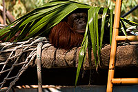 /images/133/2008-08-01-zoo-orangutan-19862.jpg - #05675: Orangutan under palm leaf at the Phoenix Zoo … August 2008 -- Phoenix Zoo, Phoenix, Arizona