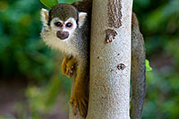 /images/133/2008-08-01-zoo-sq-monkey-19739.jpg - #05678: Squirrel Monkey at the Phoenix Zoo … August 2008 -- Phoenix Zoo, Phoenix, Arizona