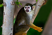 /images/133/2008-08-01-zoo-sq-monkey-19745.jpg - #05679: Squirrel Monkey at the Phoenix Zoo … August 2008 -- Phoenix Zoo, Phoenix, Arizona